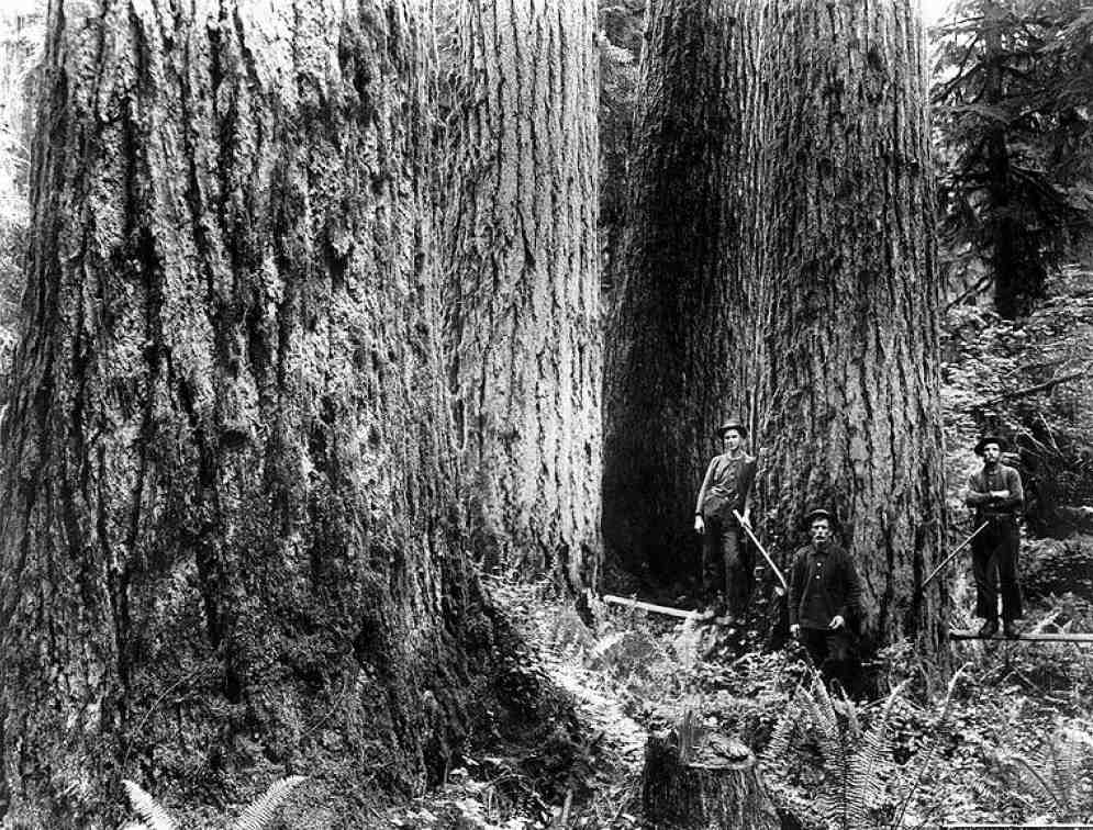 Giant Trees that existed around Bothell